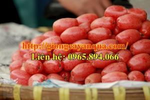 Chuyên cung cấp cây giống ăn quả, giống cây nhót ngọt, cây giống nhót ngọt chất lượng cao