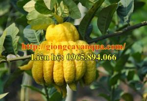 Cung cấp cây giống phật thủ, cây phật thủ giống - Đại học Nông nghiệp Hà Nội