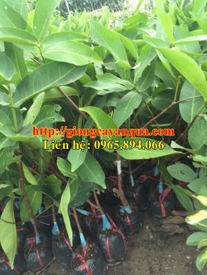 Cung cấp giống cây roi đỏ, giống roi đỏ Thái Lan, roi đỏ Thái Lan giống - cây giống chất lượng
