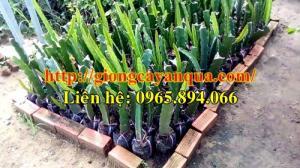 Cung cấp cây giống thanh long ruột đỏ - Đại học Nông nghiệp Hà Nội
