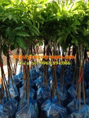 Cung cấp giống cây trám đen, cây giống trám đen - Đại học Nông nghiệp Hà Nội