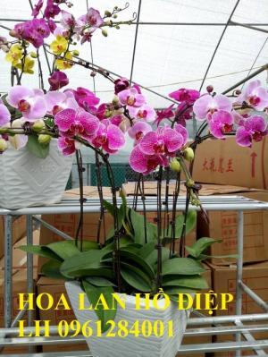 Cung cấp hoa lan hồ điệp chơi tết, hàng loại 1, số lượng lớn, giao hàng toàn quốc