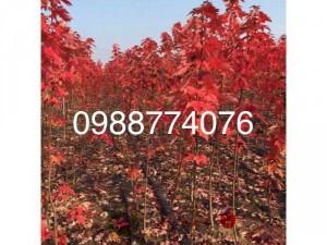 Bán cây phong lá đỏ, giống cây phong lá đỏ.