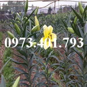 Cây hoa ly màu vàng thơm