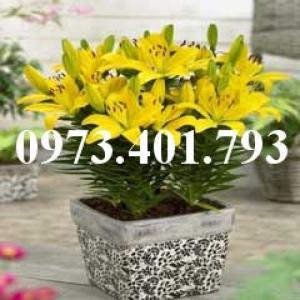 Cây hoa ly lùn màu vàng