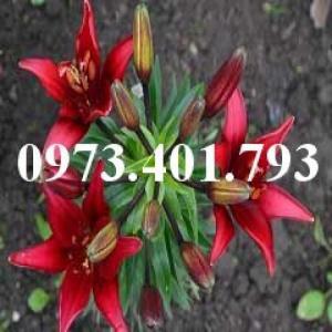 Cây hoa ly lùn màu đỏ