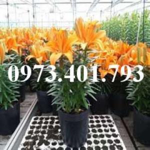 Cây hoa ly lùn màu cam