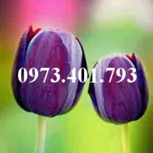 Cây hoa tulip màu tím