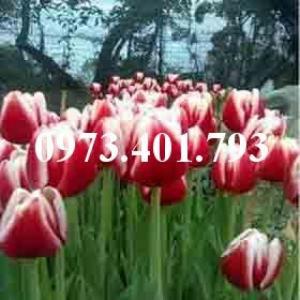 Cây hoa tulip màu đỏ viền trắng