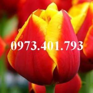Cây hoa tulip màu đỏ viền hơi vàng