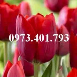 Cây hoa tulip màu đỏ mận