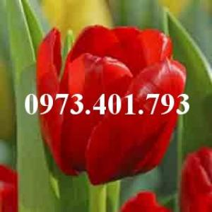 Cây hoa tulip màu đỏ cờ