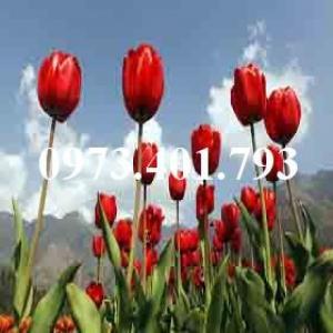 Cây hoa tulip màu đỏ nhung