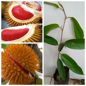 Bán giống cây sầu riêng ruột đỏ