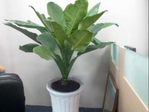 Cây đại phú quý cây cảnh văn phòng