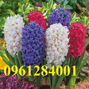 Chuyên cung cấp củ giống hoa tiên ông, dạ lan hương, số lượng lớn, giao hàng toàn quốc