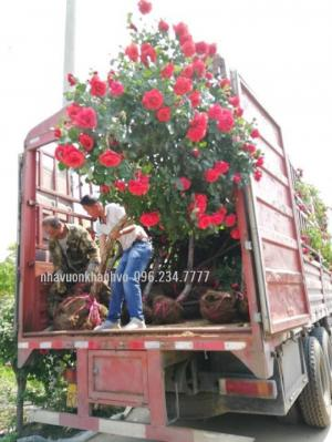 Cây Hoa hồng Pháp