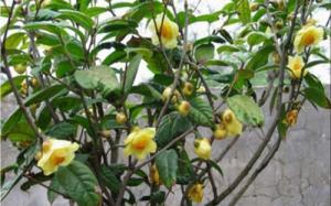 Giống trà hoa vàng cây giống chuẩn, cung cấp cây giống cây choai, giao hàng toàn quốc.