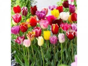 Tulip chậu tết 2019