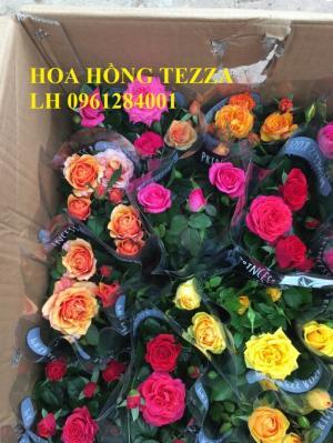 Cung cấp hoa hồng tezza, hoa hồng lùn siêu nụ, số lượng lớn