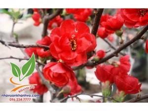 Cây hoa mai đỏ trưng mùa tết