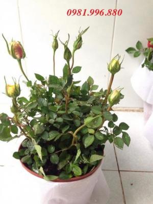 Hoa hồng phục vụ tết