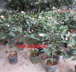 Hoa Trà My - Tết Yêu Thương