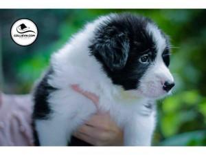 Bán chó Border Collie