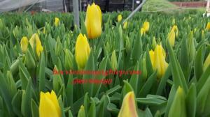 Bắt đầu nhận đặt hoa tuylip ngay từ bây giờ nhé