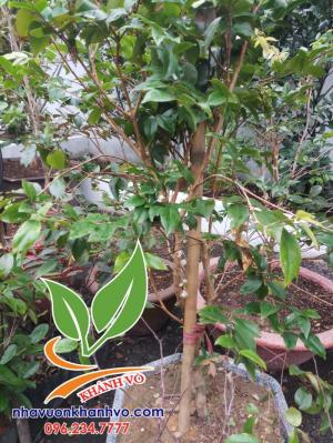 Cây giống nho thân gỗ Brazil ( giống mới)