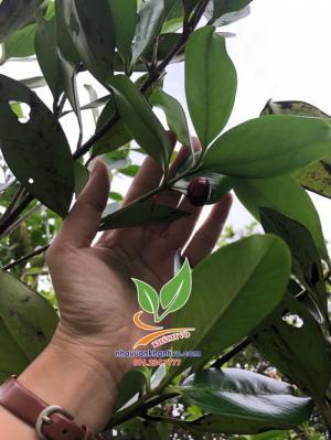 Cherry Br nhiệt đới trồng kinh tế cao tạ