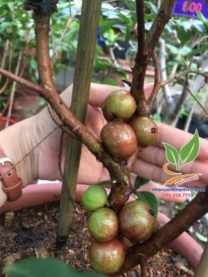 nho thân gỗ tứ quý ra trái quanh năm