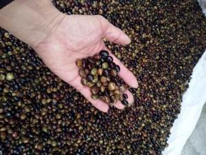 Hạt giống Cát Sâm 1.000.000/1kg.