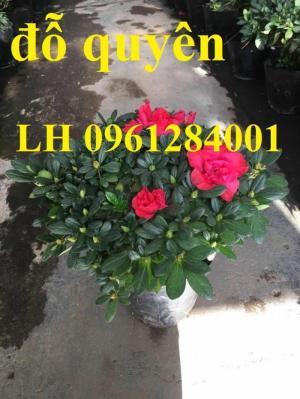 Chuyên cung cấp hoa đỗ quyên số lượng lớn, giao sỉ toàn quốc