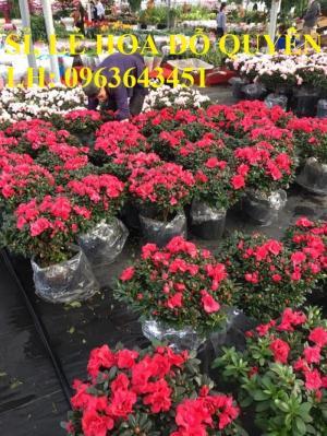 Cung cấp sỉ, lẻ đỗ quyên, hoa đỗ quyên đỏ, hoa đỗ quyên hồng, bao hàng chuẩn đẹp, giao toàn quốc