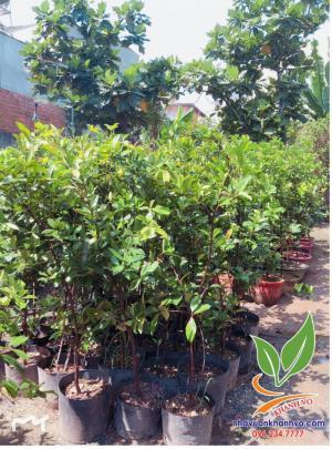 Cây cherry Brazil ( cây giống )
