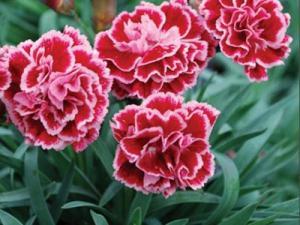 Hoa cẩm chướng đẹp nhé cả nhà. cẩm chướng chậu treo hoặc chậu to phong thủy