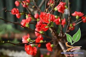 Mai đỏ trưng Tết xinh lung linh