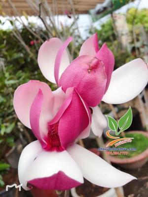 Cây hoa mộc lan đẹp quyến rũ, thơm nồng nàn