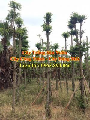 Cung cấp cây bàng Đài Loan công trình, cây bàng Đài Loan bóng mát