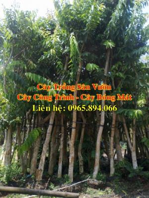 Cung cấp cây bằng lăng công trình, cây bằng lăng bóng mát, cây trồng sân vườn biệt thự