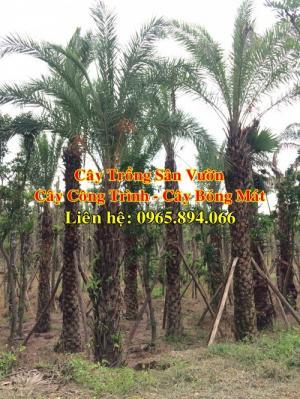 Cung cấp cây chà là công trình, cây chà là trồng đường phố - giá tốt tại Hà Nội