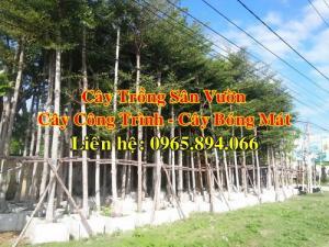 Cây chiêu liêu công trình, cây chiêu liêu trồng đô thị, cây trồng đô thị, cây công trình