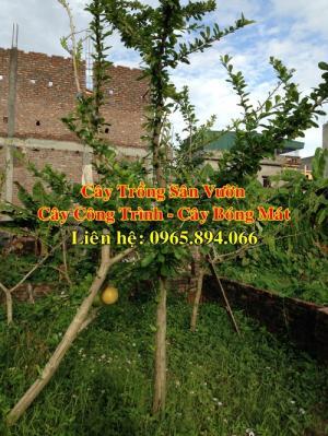 Cung cấp cây đào tiên, cây đào tiên trồng sân vườn, cây đào tiên trồng biệt thự