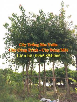 Cây bồ đề, cây đề, cây giác ngộ, cây đề trồng linh đường, cây đề trồng miếu chùa, cây đề tâm linh