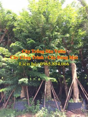 Cây giáng hương công trình, cây đinh hương công trình - xuất vườn giá cả cạnh tranh