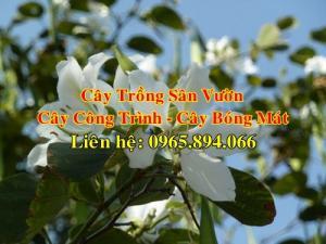 Cung cấp cây hoa ban trắng, cây hoa ban trắng công trình, hoa ban trắng Tây Bắc, hoa ban trồng đường phố