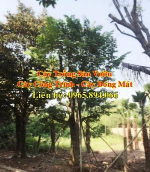 Cây khế đại thụ, cây khế trồng sân vườn biệt thự, cây khế công trình, cây khế bóng mát