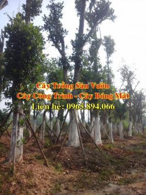 Bán cây mít ta, cây mít ta cổ thụ, cây mít công trình, cây mít trồng sân vườn biệt thự