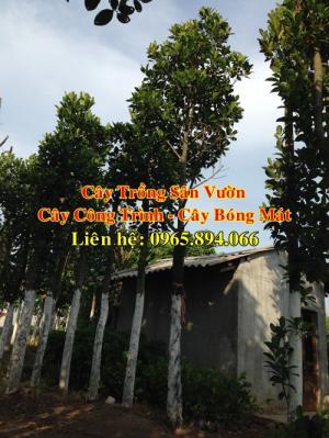 Cung cấp cây mít công trình, mít công trình, cây mít cổ thụ, cây mít trồng sân vườn